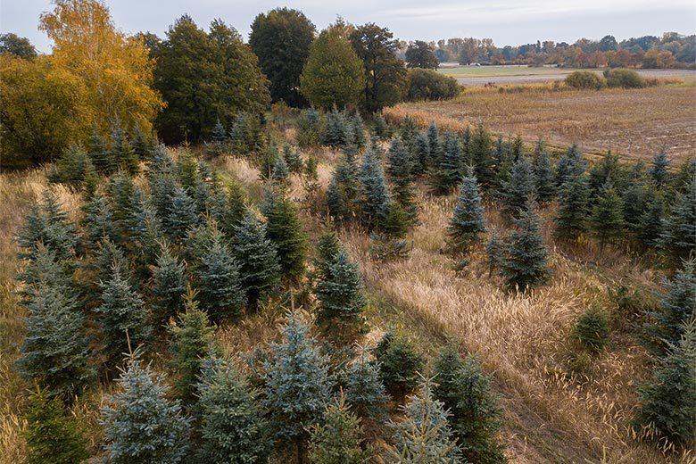 Weihnachtsbäume – die grünen Stars